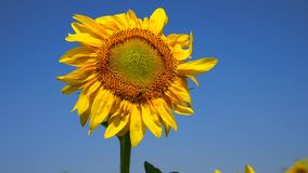L'abeille se repose sur une fleur jaune d'un tournesol banque de vidéos