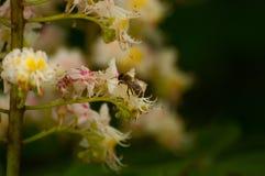 L'abeille suce le jus de la fleur Insecte en nature images libres de droits