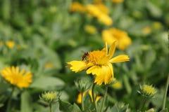 L'abeille sucent le pollen Images libres de droits