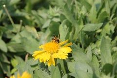 L'abeille sucent le pollen Image libre de droits