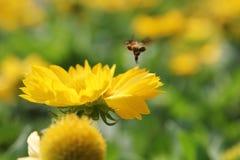 L'abeille sucent le pollen Photos libres de droits