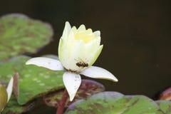 L'abeille sur Lotus photos stock