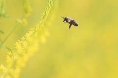 L'abeille vole aux fleurs jaunes du trèfle des champs pour le nectar Photos stock