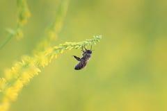 L'abeille vole aux fleurs jaunes du trèfle des champs pour le nectar Images stock