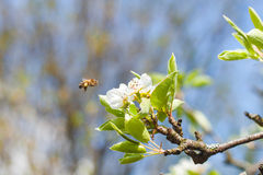 L'abeille vole pour fleurir Photographie stock libre de droits