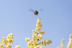 L'abeille vole pour rassembler le pollen Photographie stock