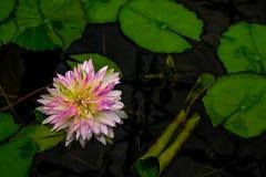 L'abeille vole sur le pollen jaune de lotus photographie stock libre de droits