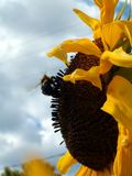 L abeilles de DES d'intrigue amoureuse de ` versent l'histoire d'amour des les tournesols/entre une abeille et un tournesol Photo stock