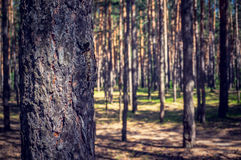 L'abetaia spessa dagli alberi Fotografie Stock