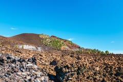 L'abetaia su lava oscilla al parco nazionale di Teide in Tenerife fotografia stock libera da diritti