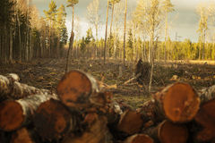 L'abete rosso, pino, betulla ha mescolato la foresta Fotografia Stock Libera da Diritti