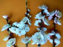 L'abricot fleurit en avril images stock