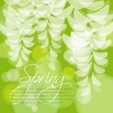 L'acacia blanc fleurit sur un fond vert avec la lumière Fleurs blanches abstraites Photographie stock libre de droits