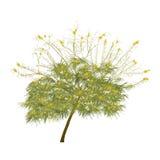 L'acacia de floraison pendant l'été Image stock