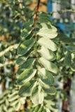 l'acacia laisse des rayons de soleil photo stock