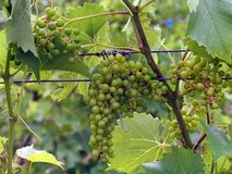 L'Acadie Blanc grapes Royalty Free Stock Photo