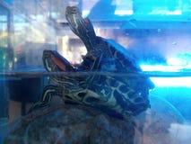 L'accoppiamento della tartaruga dell'acqua fotografie stock libere da diritti