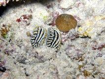 L'accoppiamento della verruca Slugs le Seychelles Fotografie Stock