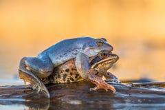L'accouplement amarrent des arvalis de Rana de grenouille dans la République Tchèque photographie stock