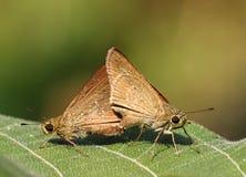 L'accouplement coloré rapide de papillon photographie stock libre de droits