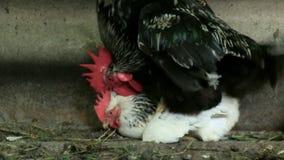 L'accouplement des attaques de coq de poulets sur le coq de reproduction de poulet et le poulet permettent la voie audio banque de vidéos