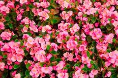 L'accroissement dense des fleurs de bégonia Photo libre de droits