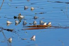 L'accumulazione delle rane nello stagno di primavera Fotografia Stock Libera da Diritti