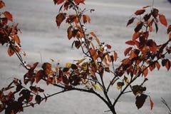 L'acer japonais part d'indiquer les belles couleurs automnales des saisons changeantes Image libre de droits