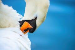 L'acqua di colore dell'estate del lago dell'uccello della natura del cigno vive immagine stock