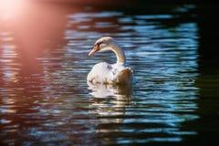 L'acqua di colore dell'estate del lago dell'uccello della natura del cigno vive immagini stock