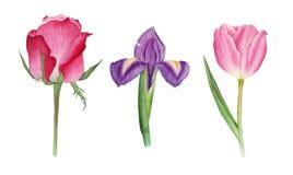 L'acquerello botanico con è aumentato, tulipano ed iride Fotografie Stock Libere da Diritti