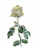 L'acquerello fiorisce nello stile classico su un fondo bianco Fotografie Stock