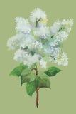 L'acquerello fiorisce nello stile classico su un fondo bianco Fotografia Stock
