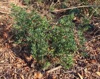 L'aculetus de Ruscus est un bas, ? feuilles persistantes arbuste photographie stock