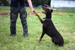 L'addestramento di cani, doberman marrone si siede nel parco e negli sguardi al proprietario fotografia stock libera da diritti