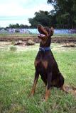 L'addestramento di cani, doberman marrone si siede nel parco e negli sguardi al proprietario immagine stock
