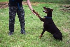 L'addestramento di cani, doberman marrone si siede nel parco e negli sguardi al proprietario fotografie stock