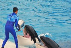 L'addestratore alimenta ad una balena di assassino l'ossequio ghiacciato a Seaworld fotografia stock