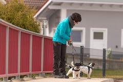 L'addestratore di cani cammina con i suoi pochi cani su una strada Due Jack Russell Terrier obbediente canino fotografia stock libera da diritti