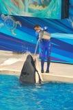 L'addestratore versa l'acqua nella balena di assassino a Seaworld fotografia stock