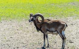 L'adulto ha addomesticato i moufflons nel parco naturale animale immagini stock