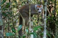 L'adulto ha incoronato le lemure immagine stock libera da diritti