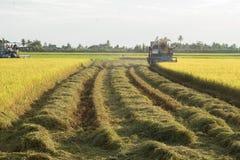 l'adulto, l'agricoltura, Asia, asiatico, il raccolto, coltiva, coltiva, tagliato, coltiva, agricoltore, coltivante, terreno colti Fotografie Stock
