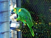 L'aestiva turquoise-affronté d'Amazona d'Amazone le perroquet turquoise-affronté, l'Amazone bleu-affrontée ou matrice Blaustir photo stock