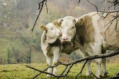 L'affetto di un vitello fotografia stock libera da diritti