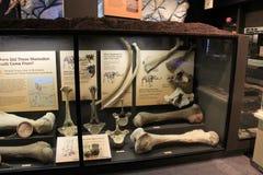 L'affichage de grands os découverts d'une vie a classé le mastodonte, musée de la Science, Rochester, New York, 2017 photos libres de droits