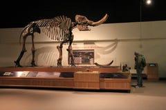 L'affichage magnifique du mastodonte a trouvé à New York, dans une de beaucoup de salles, musée d'état, Albany, New York, 2016 images libres de droits