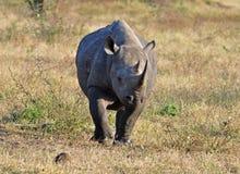 L'Africa grandi cinque: Rinoceronte nero Fotografie Stock