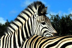 L'Africa molto vicino su di due zebre insieme nel Sudafrica immagine stock