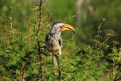 L'Africa un bucero fatturato giallo in Thorn Bush sudafricano fotografia stock